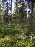 Pärlbergets gammelskog
